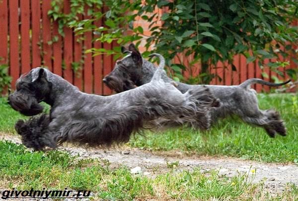 Чешский-терьер-собака-Описание-особенности-уход-и-цена-чешского-терьера-8