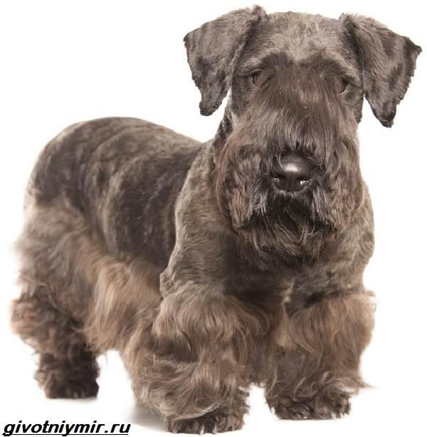 Чешский-терьер-собака-Описание-особенности-уход-и-цена-чешского-терьера-9