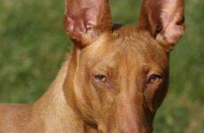Чирнеко дель Этна собака. Описание, особенности, уход и цена Чирнеко дель Этны