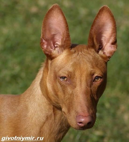 Чирнеко-дель-Этна-собака-Описание-особенности-уход-и-цена-Чирнеко-дель-Этны-3