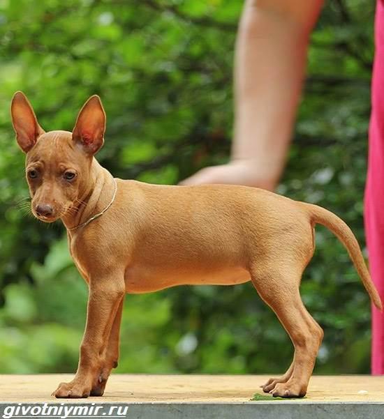 Чирнеко-дель-Этна-собака-Описание-особенности-уход-и-цена-Чирнеко-дель-Этны-4