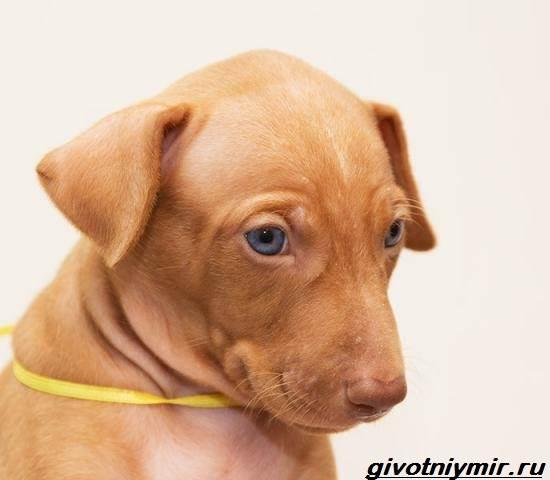 Чирнеко-дель-Этна-собака-Описание-особенности-уход-и-цена-Чирнеко-дель-Этны-5