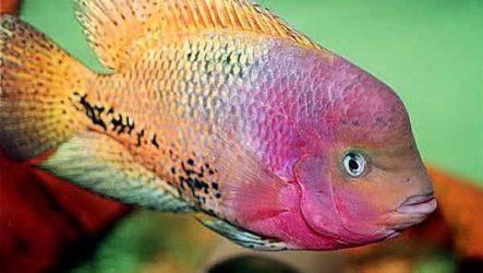 Цихлазома рыбка. Описание, особенности, виды и уход за цихлазомой