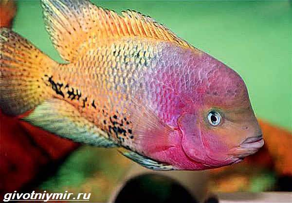Цихлазома-рыбка-Описание-особенности-виды-и-уход-за-цихлазомой-1