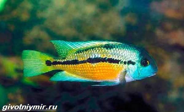 Цихлазома-рыбка-Описание-особенности-виды-и-уход-за-цихлазомой-11