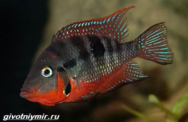 Цихлазома-рыбка-Описание-особенности-виды-и-уход-за-цихлазомой-12