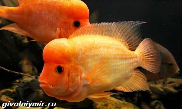 Цихлазома-рыбка-Описание-особенности-виды-и-уход-за-цихлазомой-13