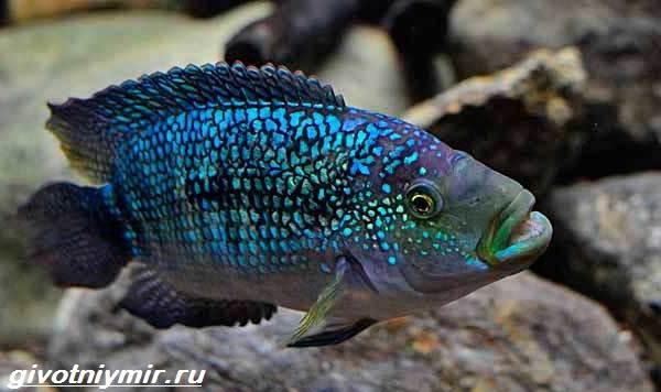 Цихлазома-рыбка-Описание-особенности-виды-и-уход-за-цихлазомой-2