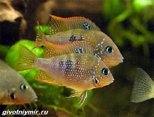 Цихлазома-рыбка-Описание-особенности-виды-и-уход-за-цихлазомой-3