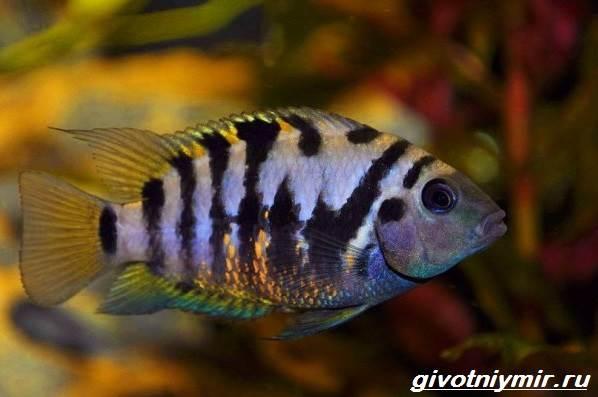 Цихлазома-рыбка-Описание-особенности-виды-и-уход-за-цихлазомой-4