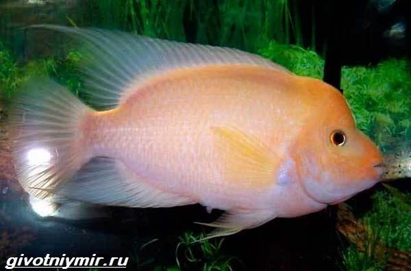 Цихлазома-рыбка-Описание-особенности-виды-и-уход-за-цихлазомой-5