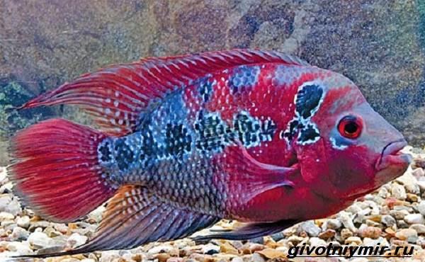 Цихлазома-рыбка-Описание-особенности-виды-и-уход-за-цихлазомой-6