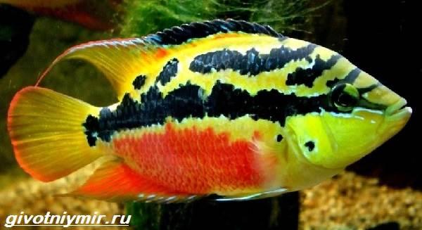 Цихлазома-рыбка-Описание-особенности-виды-и-уход-за-цихлазомой-7