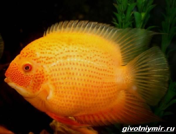 Цихлазома-рыбка-Описание-особенности-виды-и-уход-за-цихлазомой-8