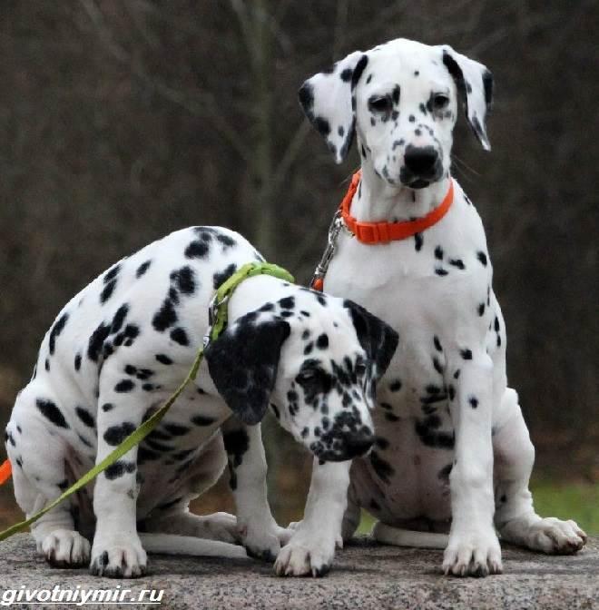 Далматинец-собака-Описание-особенности-уход-и-цена-далматинца-1