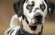 Далматинец собака. Описание, особенности, уход и цена далматинца