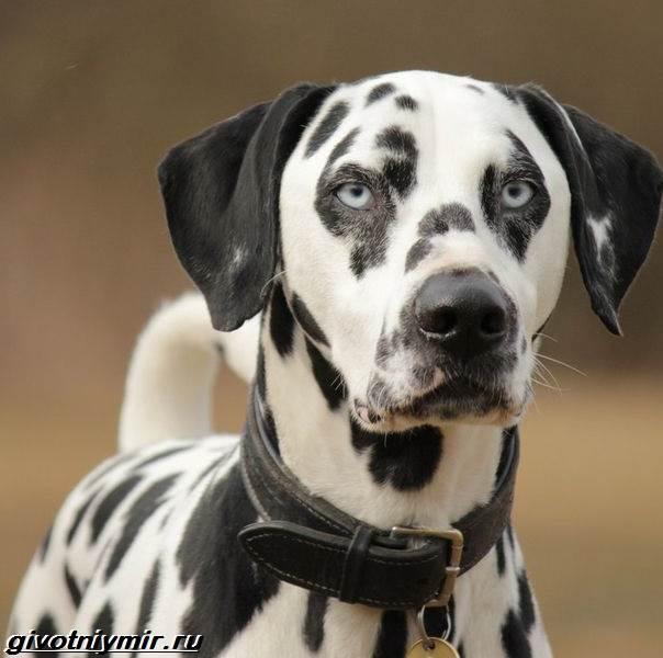 Далматинец-собака-Описание-особенности-уход-и-цена-далматинца-3