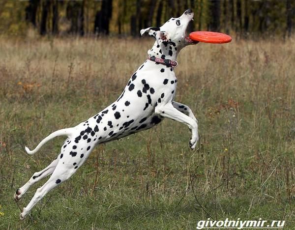 Далматинец-собака-Описание-особенности-уход-и-цена-далматинца-4