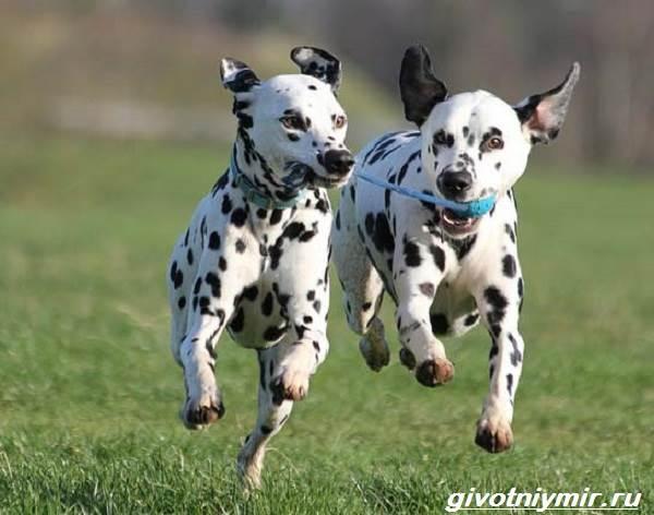 Далматинец-собака-Описание-особенности-уход-и-цена-далматинца-5