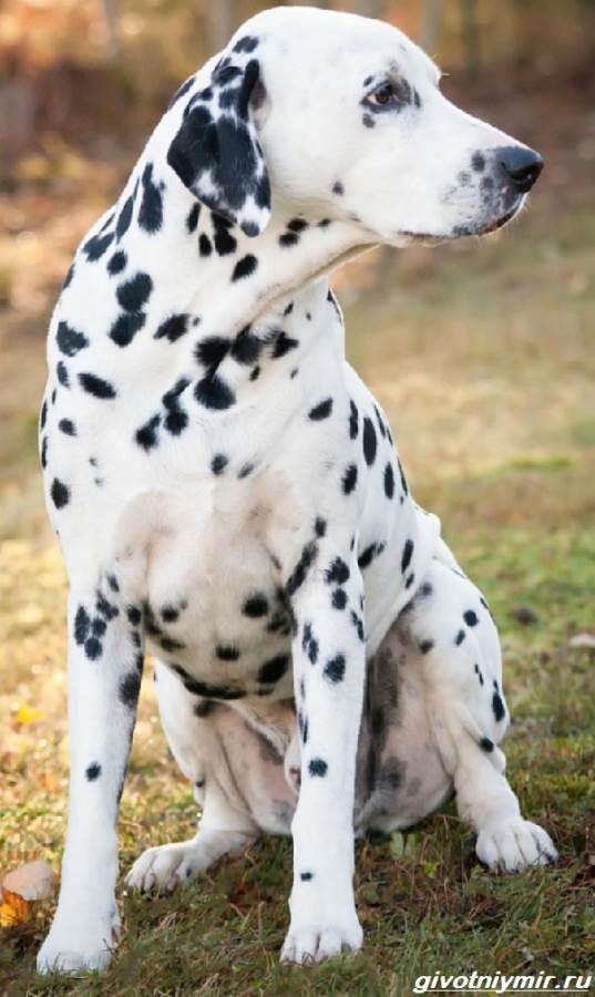 Далматинец-собака-Описание-особенности-уход-и-цена-далматинца-8