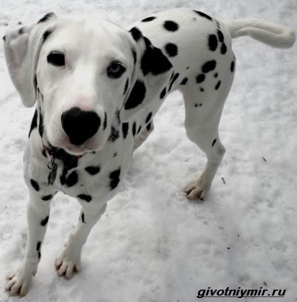 Далматинец-собака-Описание-особенности-уход-и-цена-далматинца-9