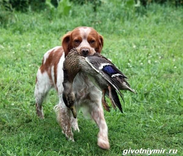 Эпаньоль-собака-Описание-особенности-цена-и-уход-за-эпаньолем-1