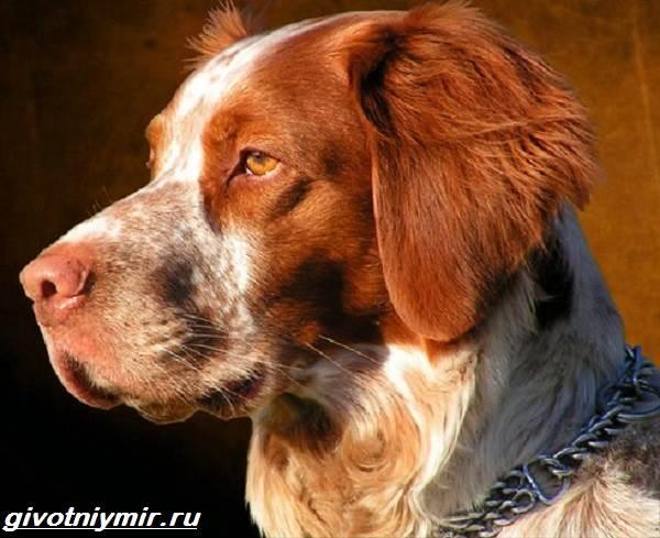 Эпаньоль-собака-Описание-особенности-цена-и-уход-за-эпаньолем-2