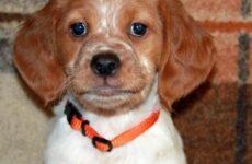 Эпаньоль собака. Описание, особенности, цена и уход за эпаньолем
