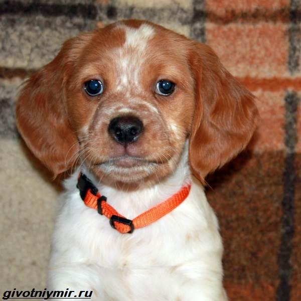 Эпаньоль-собака-Описание-особенности-цена-и-уход-за-эпаньолем-3
