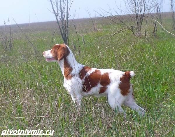 Эпаньоль-собака-Описание-особенности-цена-и-уход-за-эпаньолем-4
