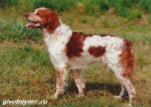 Эпаньоль-собака-Описание-особенности-цена-и-уход-за-эпаньолем-5