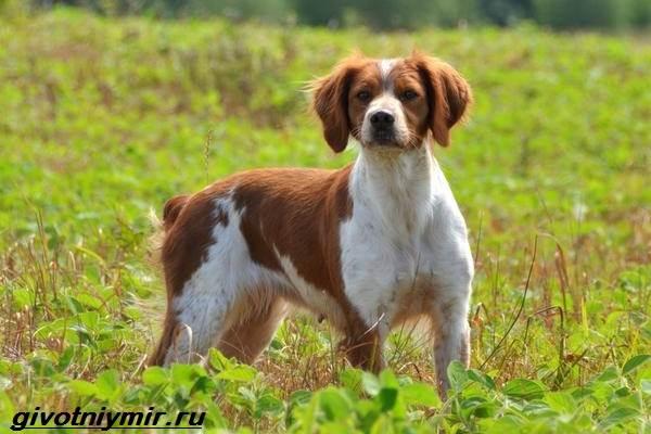 Эпаньоль-собака-Описание-особенности-цена-и-уход-за-эпаньолем-7