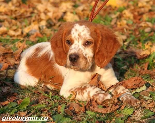 Эпаньоль-собака-Описание-особенности-цена-и-уход-за-эпаньолем-8