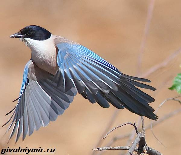 Голубая-сорока-птица-Образ-жизни-и-среда-обитания-голубой-сороки-1