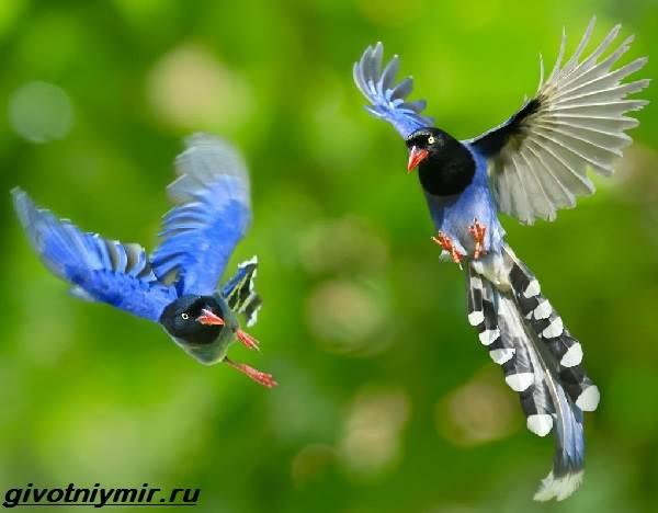Голубая-сорока-птица-Образ-жизни-и-среда-обитания-голубой-сороки-10