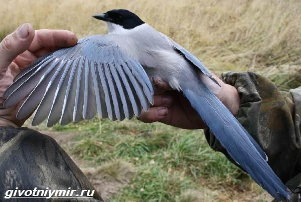 Голубая-сорока-птица-Образ-жизни-и-среда-обитания-голубой-сороки-4