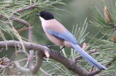 Голубая сорока птица. Образ жизни и среда обитания голубой сороки