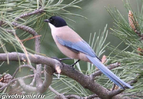 Голубая-сорока-птица-Образ-жизни-и-среда-обитания-голубой-сороки-5