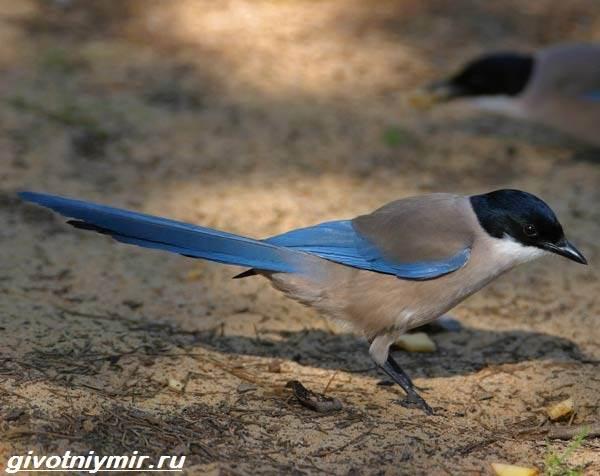 Голубая-сорока-птица-Образ-жизни-и-среда-обитания-голубой-сороки-6