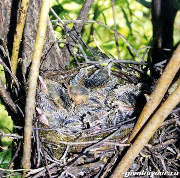 Голубая-сорока-птица-Образ-жизни-и-среда-обитания-голубой-сороки-7