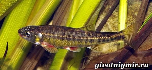 Гольян-рыба-Образ-жизни-и-среда-обитания-рыбы-гольян-2