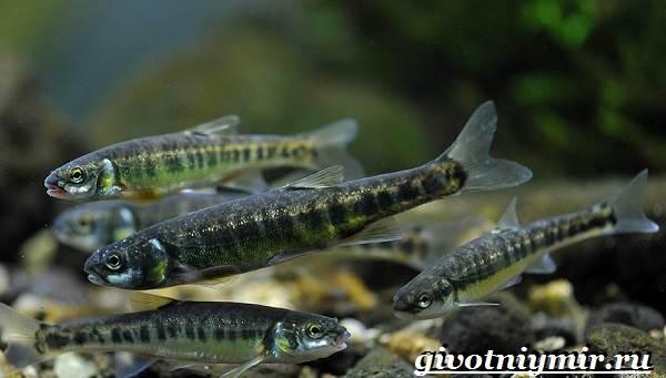 Гольян-рыба-Образ-жизни-и-среда-обитания-рыбы-гольян-3