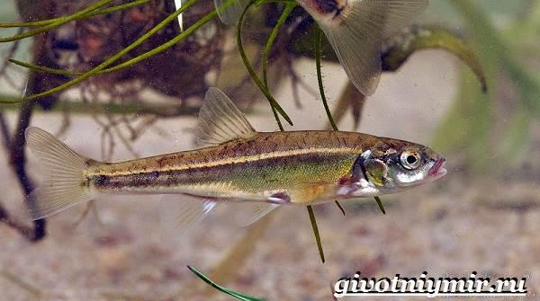 Гольян-рыба-Образ-жизни-и-среда-обитания-рыбы-гольян-4