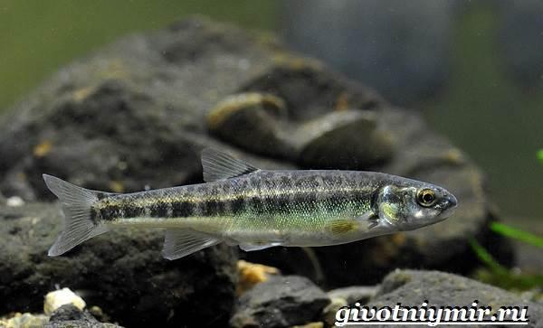 Гольян-рыба-Образ-жизни-и-среда-обитания-рыбы-гольян-5