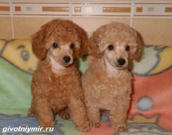 Карликовые-собаки-Особенности-описание-уход-и-породы-карликовых-собак-4