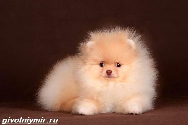 Карликовые-собаки-Особенности-описание-уход-и-породы-карликовых-собак-5
