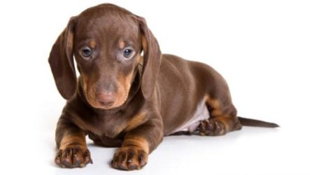 Карликовые собаки. Особенности, описание, уход и породы карликовых собак