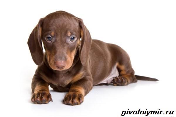 Карликовые-собаки-Особенности-описание-уход-и-породы-карликовых-собак-6