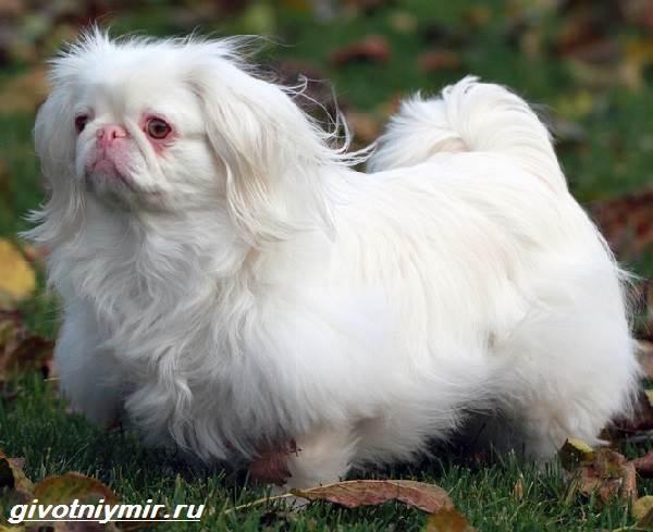 Карликовые-собаки-Особенности-описание-уход-и-породы-карликовых-собак-7