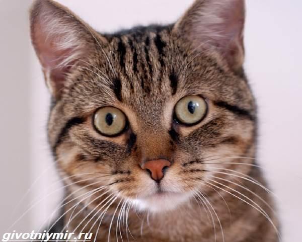 Кельтская-кошка-Описание-особенности-уход-и-цена-кельтской-кошки-1